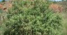 Sage-wood trees